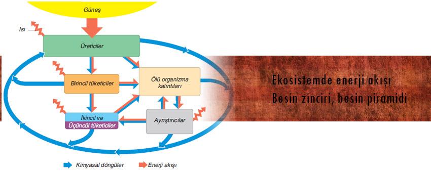 Besin zinciri, besin piramidi, besin ağı ve ekosistemde enerji akışı